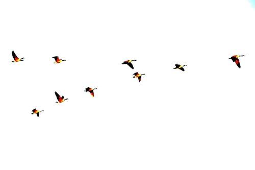 geese_fly_birds_air-483915